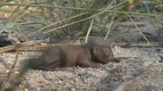 Minute baby mongoose found alone in the wilderness!
