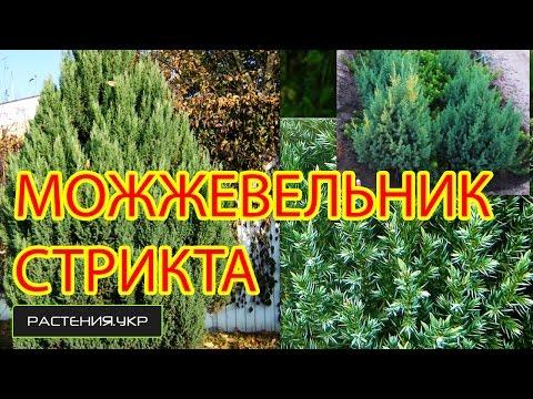 Можжевельник китайский (Juniperus chinensis) - Сад своими
