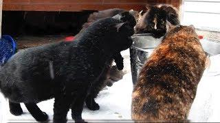 #2 Чаепитие Neighbor's cat named Behemoth came to visit Сосед Бегемот