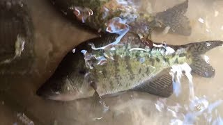 GO GO MINNOW Strikes Again! Lake Crappie Fishing Action