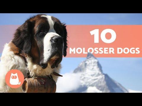 10 MOLOSSER DOG BREEDS  (+ Fun Facts)