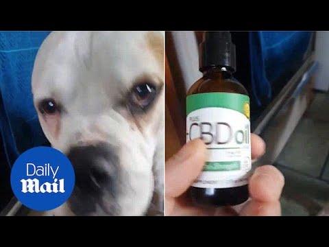 American Bulldog Rocky is treated with CBD cannabis oil - Daily Mail