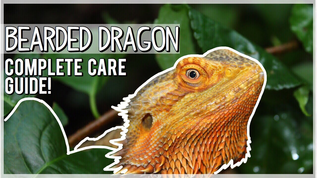 Do's and don'ts for your new lizard.