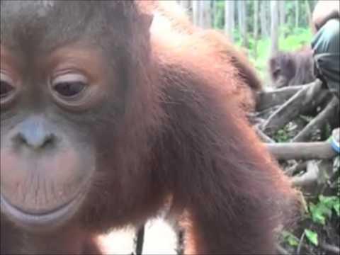 Miko Orangutan November 2013