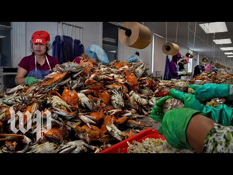 Without visas for foreign workers, Maryland's crab-picking jobs go unfilled
