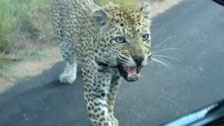 Leopard Doesn't Like His Reflection