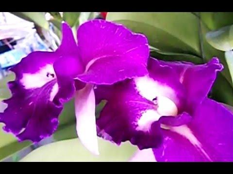 THAI WILD ORCHID (Orchidaceae) – Beautiful Flowers – Bunga Anggrek Thailand [HD]
