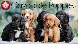 Chevromist Cavoodle Puppies In The Veggie Garden