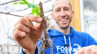 How to Grow a Fig Tree from a Cutting | Propagate Figs for your Garden