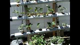 Growing Strawberries in Hydroponics