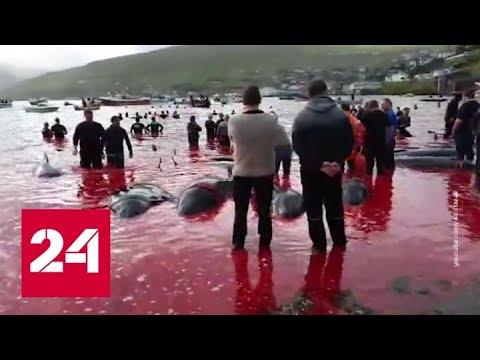 Варварский праздник: датчане забивают китов - Россия 24