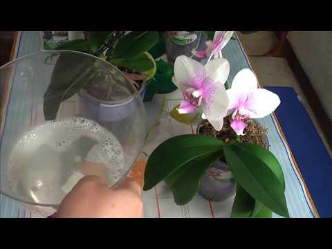 Орхидея. Чем я протираю листья орхидей.