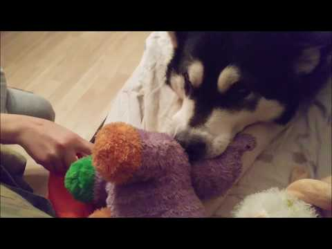 Alaskan Malamute doesn't like if you touch her Hippo