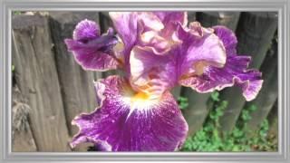 l'Iris une fleur royale