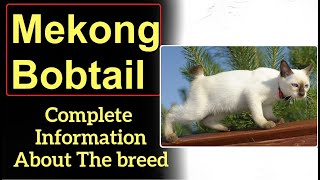Mekong Bobtail or Thai Bobtail. Pros and Cons, Price, How to choose, Facts, Care, History