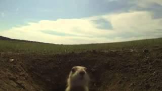 Прикольные луговые собачки(, 2014-04-03T18:37:54.000Z)