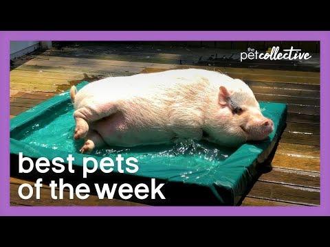 Mini Pool Pig   Best Pets of the Week