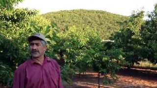 Çerkesli Köyünde Organik Kiraz Bahçesi - Çerkesli Köyü - Organik Meyve Bahçesi.