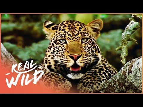 Indian Leopard - The Killing Fields [Man VS Nature Documentary]   Real Wild