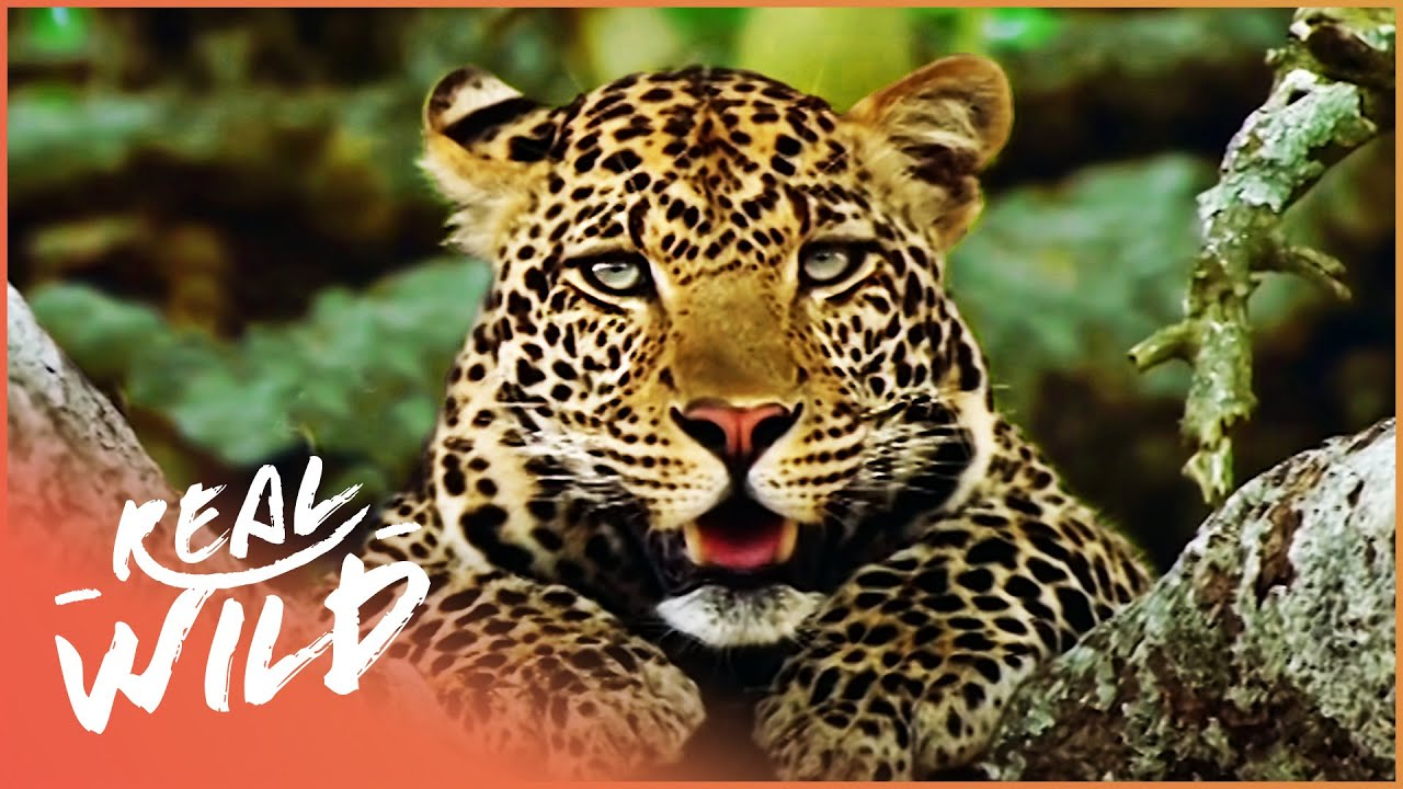 Download The Killing Fields: A Tale Of The Indian Leopard  (Man Vs Nature Documentary) | Real Wild