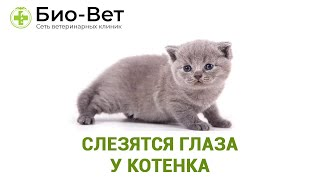 Слезятся глаза у котенка. Ветеринарная клиника Био-Вет.