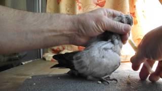 Принудительное кормление птенца голубя. Подкидыш