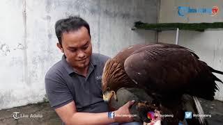 Elang Golden Eagle Seharga 300 Juta yang Berasal dari Republik Ceko
