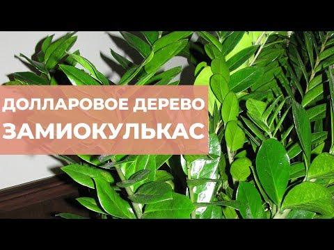 Замиокулькас. Долларовое дерево уход и содержание