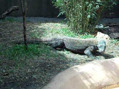 Komodo Dragon at the Palm Beach zoo.