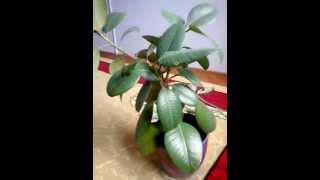 Фикус каучуконосный (ficus elastica). Уход за фикусами(ficus floare., 2014-04-22T12:25:13.000Z)