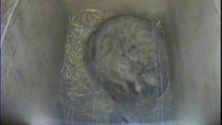 4月27日生まれのツシマヤマネコの赤ちゃん ツシマヤマネコ 検索動画 19