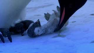 Penguins Mourning - What this penguin does next is astonishing!