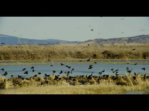 Large flock of small birds flying around the wetlands in Lower Klamath Basin National Wildlife Re...
