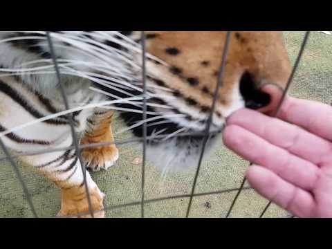 How tigers react to strange blood on my hand