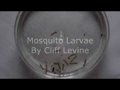 New Kill Mosquito Larvae Naturally With This Weird T