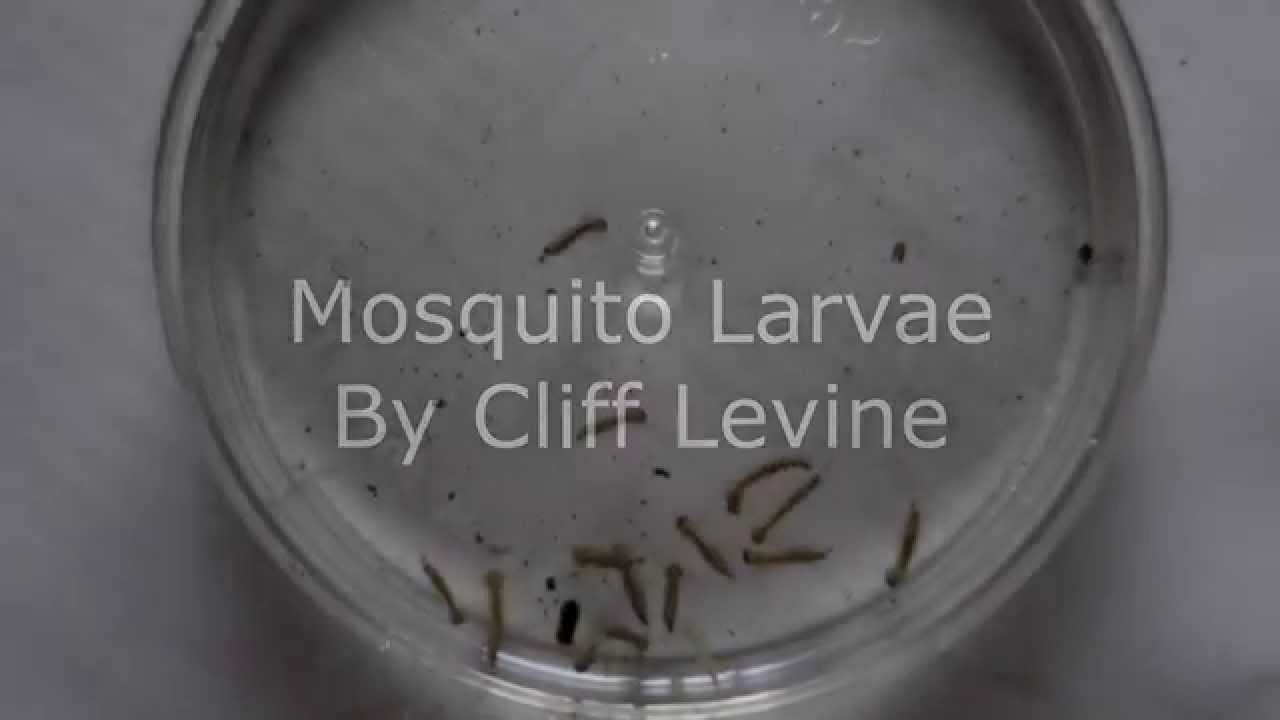 Mosquito Pupa In Water