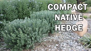 Grey Box™ Westringia Is A Drought Tolerant Native Box Hedge Plant