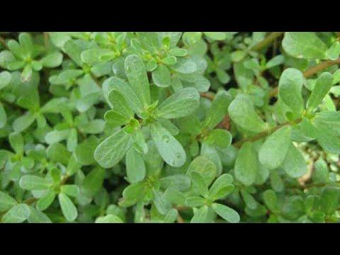 457. Benefits of Kulfa  by gardening my charm