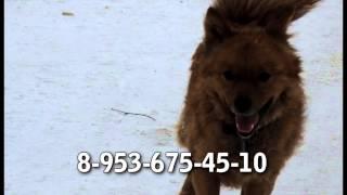 5) Потерялась собака. Вятка Today 21.07.2014