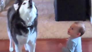 Husky Imitates An Adorable Baby