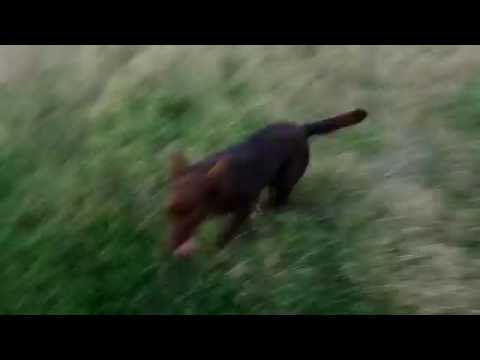 Australian Kelpie RED DOG playing