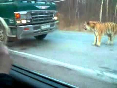 тигр в Бикине.mp4