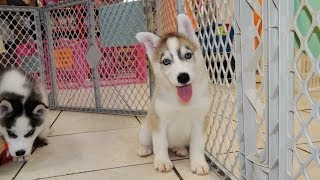 Siberian Husky, Puppies, For, Sale, In, Southaven, Mississippi, County, Ms, Meridian, Biloxi, Hattie
