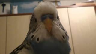 Попугай засыпает...