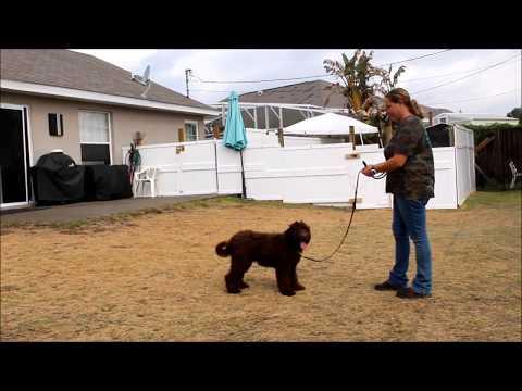 Bella 1 week stage 1 service dog obedience academy