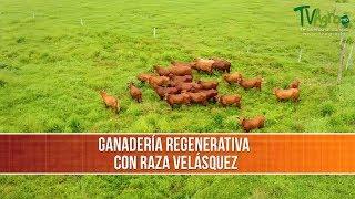 Caracteristicas de la Raza Criolla Velasquez- TvAgro por Juan Gonzalo Angel