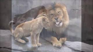 "ПОТРЯСАЮЩАЯ ПЕСНЯ: КАФКАЗДИН АСЛАН (Лев Кавказа). A beautiful Agul song ""The Lion of the Caucasus"""