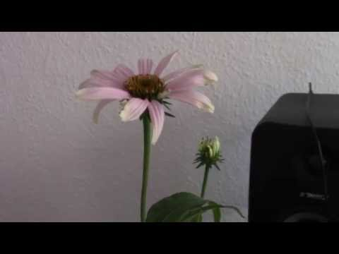 Music of the plants - ECHINACEA | 432Hz