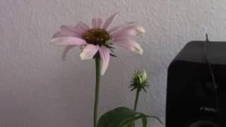 music of the plants echinacea   432hz