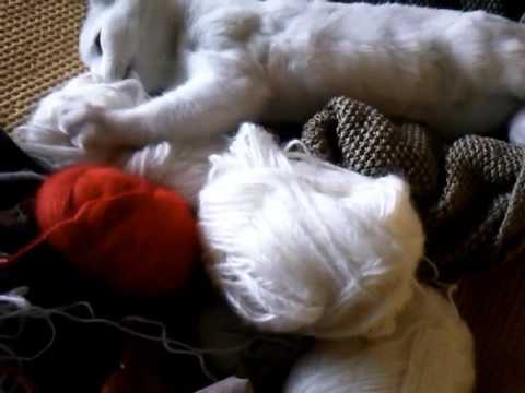 Playful Turkish Van Kitty